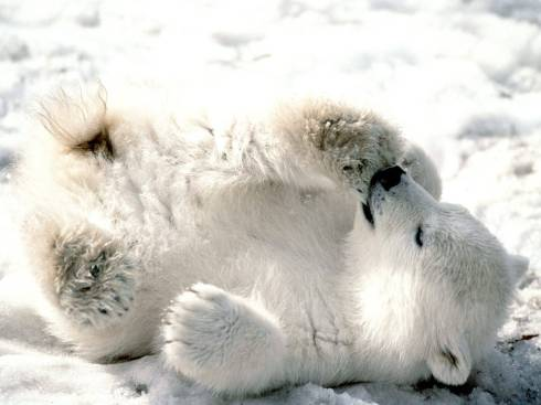 Polar bear cub snow
