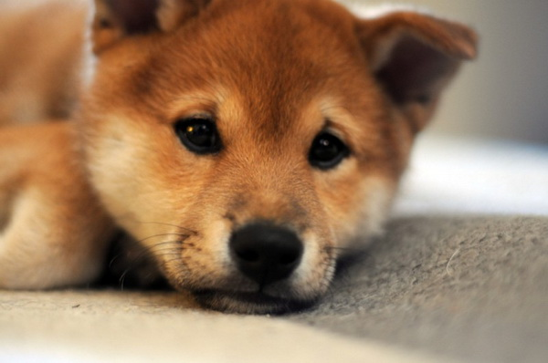 shiba inu puppies | Suite 707